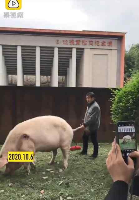 汶川地震猪坚强 上热搜!国庆多名游客探望13岁猪坚强,猪坚强是怎么火的?