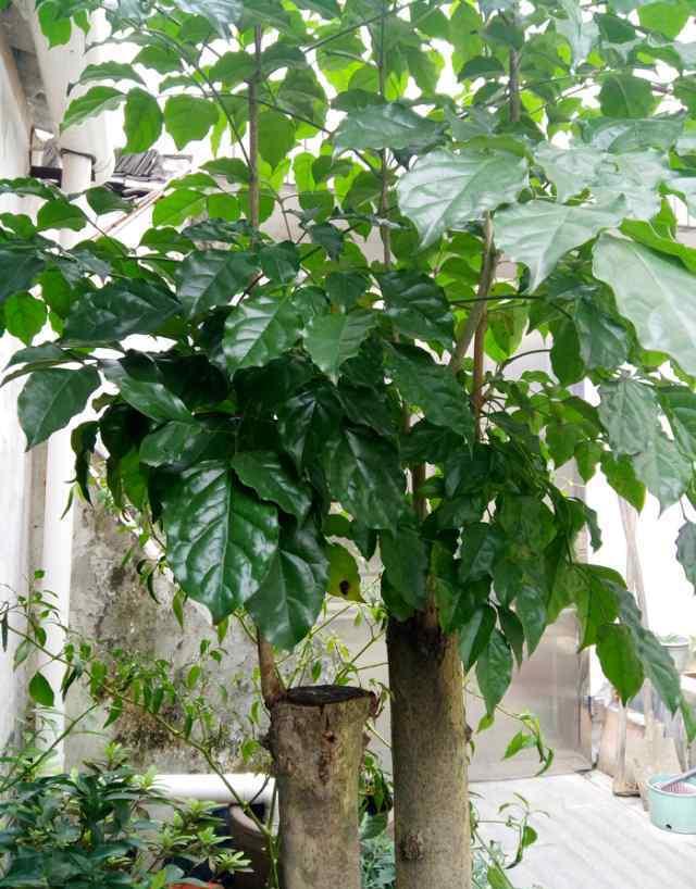 幸福树怎么养 幸福树怎么养才能让叶子这么翠绿、有光泽?