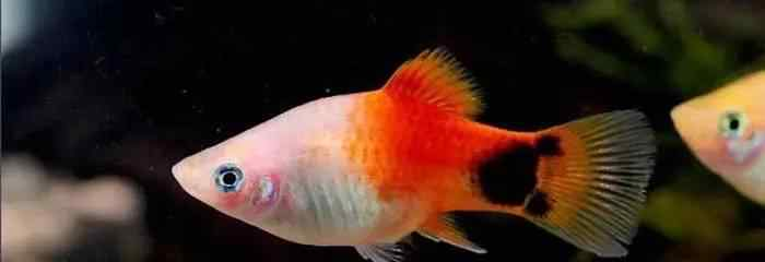 红月光鱼 月光鱼资料介绍