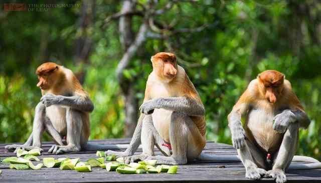长鼻猴 马来西亚长鼻猴24小时金枪不倒 女游客看了很害羞